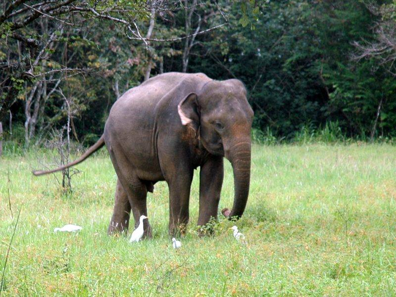 wilder Elefant in Sri Lanka